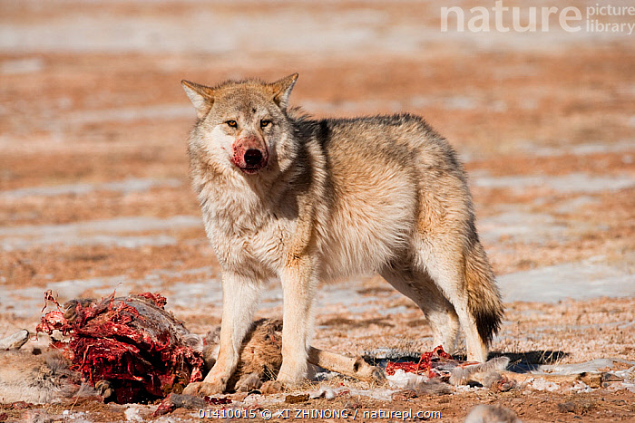 Grey wolf (Canis lupus) at a Tibetan antelope (Pantholops hodgsoni) carcass, Qinghai, China, December, antelope,ASIA,blood,Canidae,CANIDS,CARNIVORES,CHINA,DEATH,MAMMALS,SCAVENGING,SNOW,Tibetan Plateau,VERTEBRATES,WINTER,WOLVES high1314,CANIS LUPUS,Animal,Vertebrate,Mammal,Carnivore,Canid,Dog,Grey Wolf,Animalia,Animal,Wildlife,Vertebrate,Mammalia,Mammal,Carnivora,Carnivore,Canidae,Canid,Canis,Dog,Canis lupus,Grey Wolf,Common Wolf,Gray Wolf,Wolf,Standing,Alertness,Alert,Horror,Dead,Dead Animal,Carcass,Nobody,Asia,East Asia,China,Full Length,Full Lengths,Whole,Side View,Outdoors,Open Air,Outside,Day,Nature,Natural,Natural World,Wild,Animals In The Wild,Animal In The Wild,Wild Animal,Wild Animals,Violence,Violent,Feeding,Death,Qinghai Tibetan Plateau,Bloodthirsty, XI ZHINONG