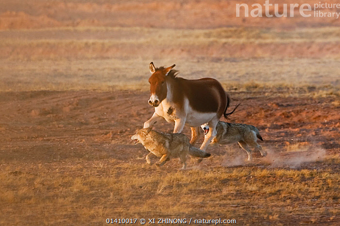 Grey Wolves (Canis lupus) hunting a wounded Tibetan wild ass (Equus kiang) Kekexili, Qinghai, China, December., ACTION,ASIA,chasing,CHINA,Equidae,HUNTING,KIANG,MAMMALS,PERISSODACTYLA,PREDATION,RUNNING,Tibetan Plateau,VERTEBRATES,wolf,WOUNDED high1314,EQUUS KIANG,Animal,Vertebrate,Mammal,Carnivore,Canid,Dog,Grey Wolf,Odd toed ungulate,Tibetan wild ass,Animalia,Animal,Wildlife,Vertebrate,Mammalia,Mammal,Carnivora,Carnivore,Canidae,Canid,Canis,Dog,Canis lupus,Grey Wolf,Common Wolf,Gray Wolf,Wolf,Perissodactyla,Odd toed ungulate,Equidae,Equus,Equus kiang,Tibetan wild ass,Running,Fear,On The Move,Speed,Few,Three,Group,Nobody,Asia,East Asia,China,Dust,Dusty,Outdoors,Open Air,Outside,Day,Nature,Natural,Natural World,Wild,Animals In The Wild,Animal In The Wild,Wild Animal,Wild Animals,Mixed species,Three Animals,Moving,Outnumbered,Kekexili, XI ZHINONG