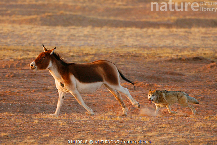 Grey wolf (Canis lupus) chasing a wounded tibetan wild ass (Equus kiang) Kekexili, Qinghai, China, December., ACTION,ASIA,chasing,CHINA,Equidae,HUNTING,KIANG,MAMMALS,PERISSODACTYLA,PREDATION,RUNNING,Tibetan Plateau,VERTEBRATES,WOUNDED high1314,EQUUS KIANG,Animal,Vertebrate,Mammal,Carnivore,Canid,Dog,Grey Wolf,Odd toed ungulate,Tibetan wild ass,Animalia,Animal,Wildlife,Vertebrate,Mammalia,Mammal,Carnivora,Carnivore,Canidae,Canid,Canis,Dog,Canis lupus,Grey Wolf,Common Wolf,Gray Wolf,Wolf,Perissodactyla,Odd toed ungulate,Equidae,Equus,Equus kiang,Tibetan wild ass,Moving After,Following,Follow,Follows,Contrasts,Fear,Two,Nobody,Size,Asia,East Asia,China,Profile,Side View,Dust,Dusty,Outdoors,Open Air,Outside,Day,Nature,Natural,Natural World,Wild,Animals In The Wild,Animal In The Wild,Wild Animal,Wild Animals,Animal Behaviour,Predation,Stalking,Hunting,Mixed species,Behaviour,Two animals,Moving,Kekexili, XI ZHINONG