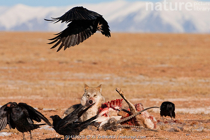 Grey wolf (Canis lupus) and ravens (Corvax corvax)  scavenging a Tibetan antelope (Pantholops hodgsonii) carcass, Kekexili, Qinghai, China, December, ASIA,BIRDS,CANIDAE,CANIDS,CARNIVORES,CHINA,CORVIDAE,CROWS,DEATH,FLYING,MAMMALS,SCAVENGING,TIBETAN PLATEAU,VERTEBRATES,WOLVES,Dogs, XI ZHINONG