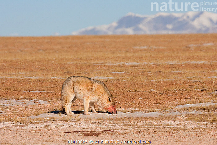 Grey wolf, (Canis lupus) eating snow, with blood on its face from feeding, Kekexili, Qinghai, China, December, ASIA,Canidae,CANIDS,CARNIVORES,CHINA,DRINKING,MAMMALS,SNOW,Tibetan Plateau,VERTEBRATES,WINTER,WOLVES,Dogs, XI ZHINONG