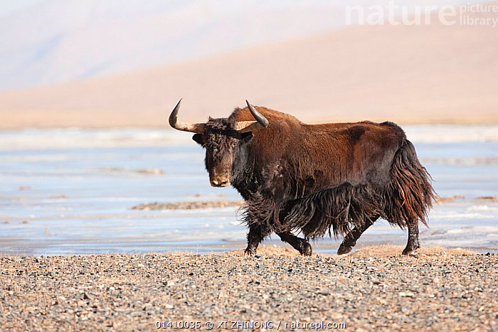 Wild yak (Bos mutus) portrait with snow in background, Qinghai, China, December, ARTIODACTYLA,ASIA,Bovidae,CATTLE,CHINA,MAMMALS,PORTRAITS,SNOW,Tibetan Plateau,VERTEBRATES,WINTER, XI ZHINONG