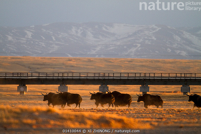 Herd of yak (Bos mutus) walking alongside a motorway, Kekexili, Qinghai, Tibetan Plateau, China, December, ARTIODACTYLA,ASIA,Bovidae,CATTLE,CHINA,GROUPS,HABITAT,Herds,LANDSCAPES,MAMMALS,MOUNTAINS,ROADS,Tibetan Plateau,VERTEBRATES high1314,BOS MUTUS,Animal,Vertebrate,Mammal,Bovid,Cattle,Wild Yak,Animalia,Animal,Wildlife,Vertebrate,Mammalia,Mammal,Artiodactyla,Even-toed ungulates,Bovidae,Bovid,ruminantia,Ruminant,Bos,Cattle,Bos mutus,Wild Yak,Yak,Walking,Contrasts,Direction,Journey,On The Move,Togetherness,Close,Together,Colour,Brown,Distant,Distance,Herds,Group,Medium Group,Nobody,Asia,East Asia,China,Side View,Road,Mountain,Dust,Dusty,Snow,Outdoors,Open Air,Outside,Day,Nature,Natural,Natural World,Wild,Animals In The Wild,Animal In The Wild,Wild Animal,Wild Animals,Transportation,Medium group of animals,Moving,Purpose,Motorway,Brown Colour,Beside,Kekexili, XI ZHINONG