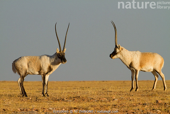 Tibetan antelope (Pantholops hodgsoni), two males, Kekexili, Qinghai, Tibetan Plateau, China, December, ARTIODACTYLA,ASIA,Bovidae,CHINA,CHIRUS,ENDANGERED,MALES,MAMMALS,Tibetan Plateau,two high1314,PANTHOLOPS HODGSONII,Approaching,Approach,Approaches,Approachs,Uncertain,Unsure,Face To Face,Face Each Other,Facing Each Other,Two,Nobody,Meeting,Asia,East Asia,China,Coloured Background,Grey Background,Gray Background,Full Length,Full Lengths,Whole,Close Up,Side View,Animal,Male Animal,Antler,Antlers,Sky,Outdoors,Open Air,Outside,Day,Nature,Natural,Natural World,Wildlife,Wild,Two animals,Kekexili, XI ZHINONG