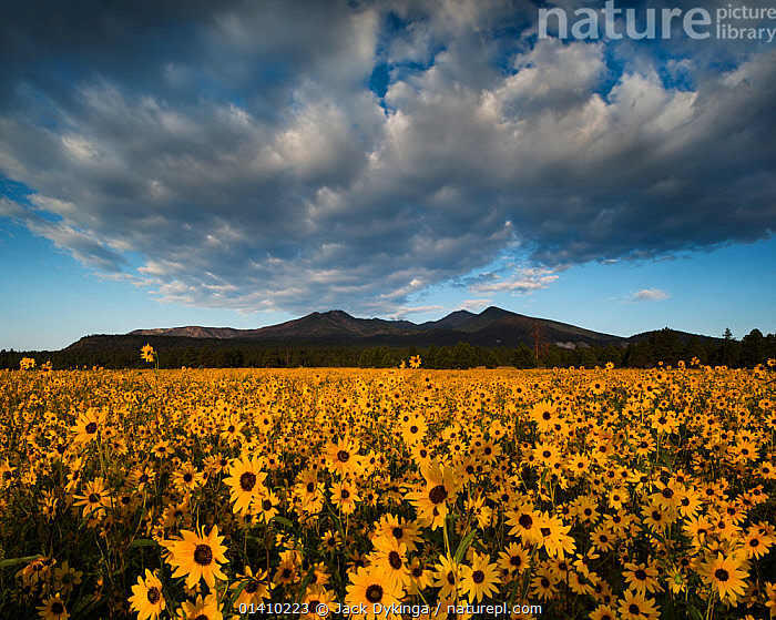 Sunset Crater National Monument with dawn light on the San Francisco Peaks over fields of flowering Prairie sunflowers (Helianthus petiolaris) Arizona, ASTERACEAE,CLOUDS,COMPOSITAE,DAWN,DICOTYLEDONS,FLOWERS,LANDSCAPES,MANY,MASS,MOUNTAINS,PLANTS,SKY,YELLOW,Weather, Jack Dykinga