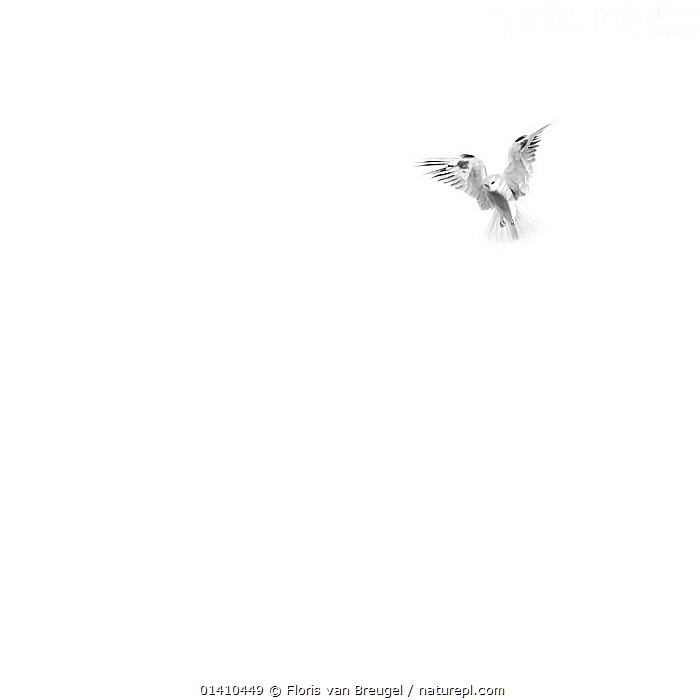A White-tailed Kite (Elanus leucurus) hovers in the open space over  Mount Diablo State Park, California, USA. December., BIRDS,BIRDS OF PREY,COPYSPACE,CUTOUT,FLYING,KITES,RESERVES,VERTEBRATES,WHITE,WHITE BACKGROUND,Catalogue5, Floris van Breugel