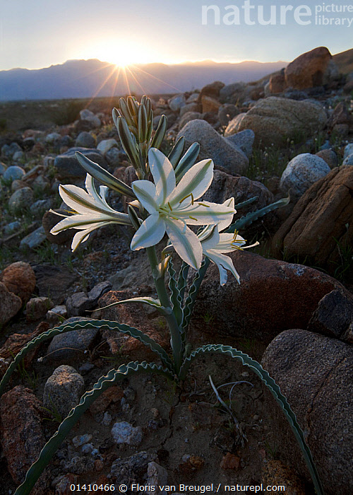 Desert Lily (Hesperocallis undulata) which only in years when there enough rainfall, Anza Borrego Desert State Park, California, USA. March., DESERTS,FLOWERS,LILIACEAE,MONOCOTYLEDONS,PLANTS,SUNRISE,VERTICAL,WHITE, Floris van Breugel