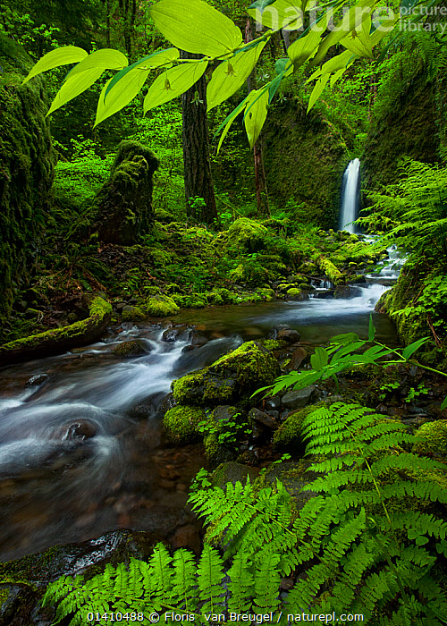 Waterfall seen through a window of fresh spring growth in  Columbia River Gorge, Oregon, USA. May  ,  LANDSCAPES,NORTH-AMERICA,RIVERS,TEMPERATE-RAINFOREST,TREES,USA,VERTICAL,WATERFALLS high1314,USA,American,Freshness,Fresh,Growth,Grow,Growing,Grows,Secrecy,Secret,Secrets,Colour,Green,Nobody,Vibrant Colour,Wet,Damp,North America,USA,Western USA,Oregon,Photographic Effect,Blurred Motion,Blurred Movement,Plant,Mosses,Moss,Branch,Branches,Leaf,Foliage,Flowing Water,Waterfall,Cascade,Cascades,Waterfalls,River,Outdoors,Open Air,Outside,Spring,Day,Nature,Natural,Natural World,Freshwater,Water,Geology,Green colour,Running Water,American,Verdant,Columbia River Gorge,Gorge  ,  Floris  van Breugel