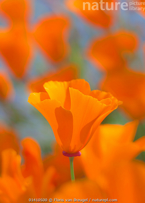 An orange California Poppy (Eschscholzia californica) blooming, Mount Diablo State Park,  California, DICOTYLEDONS, FLOWERS, NORTH-AMERICA, ORANGE, PAPAVERACEAE, PLANTS, Poppies, RESERVE, USA, VERTICAL,North America, Floris van Breugel