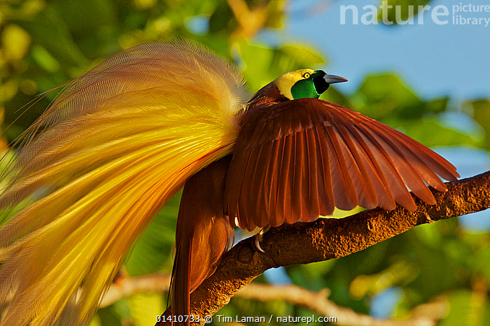 Greater Bird of Paradise (Paradisaea apoda) male performing upright wing pose display, Badigaki Forest, Wokam Island in the Aru Islands, Indonesia., ASIA,BEHAVIOUR,BIRDS,BIRDS OF PARADISE,DISPLAY,FEATHERS,INDONESIA,MALES,MATING BEHAVIOUR,OCEANIA,PAPUA NEW GUINEA,PARADISAEIDAE,PLUMES,PORTRAITS,SONGBIRDS,TAILS,TROPICAL RAINFOREST,TROPICS,VERTEBRATES,Communication, Tim Laman/Nat Geo Image Collection