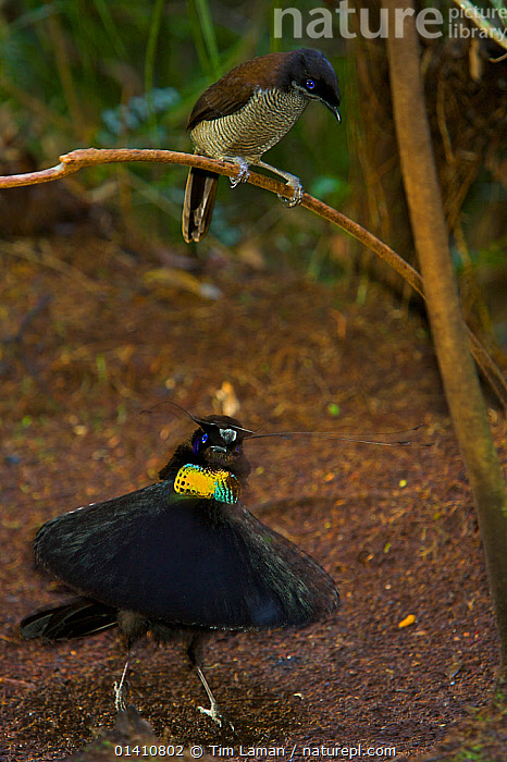 Western Parotia Bird of Paradise (Parotia sefilata) male performing 'ballerina dance' display for a female, Irian Jaya, Indonesia, ASIA,BEHAVIOUR,BIRDS,BIRDS OF PARADISE,COURTSHIP,DANCING,DISPLAY,FEMALES,INDONESIA,IRIAN,IRRIDESCENT,JAYA,LEK,MALE FEMALE PAIR,MALES,MATING BEHAVIOUR,OCEANIA,PAPUA NEW GUINEA,PARADISAEIDAE,PLUMAGE,SONGBIRDS,TROPICAL RAINFOREST,TROPICS,VERTEBRATES,VERTICAL,Communication, Tim Laman/Nat Geo Image Collection