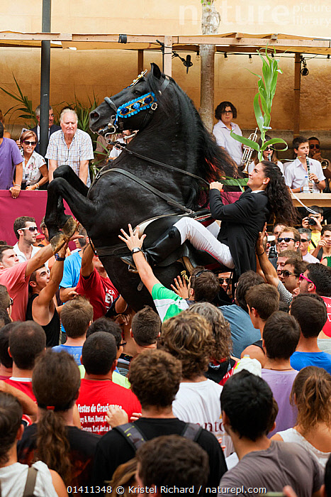 Lady riding a black Menorquin stallion, performing the bot or walking courbette of the Doma Menorquina, during the festival Mare de Deu de Gracia, in Mahon, Menorca, Spain 2012.  Tourists are trying to touch the horse, which is said to bring good fortune.  ,  BALEARIC ISLANDS,CROWDS,CULTURES,DISPLAY,EQUESTRIAN,EQUIDAE,EUROPE,EXHIBITION,EXPERTISE,FEMALES,FESTIVALS,HIND LEGS,HORSE RIDING,HORSES,MALES,MAMMALS,MEDITERRANEAN,MENORCA,MINORCA,MOVEMENT,PEOPLE,PERISSODACTYLA,SKILL,SPAIN,SPECTACLE,STALLIONS,STANDING,TOURISM,TOURISTS,TOWNS,TRAINED,VERTEBRATES,VERTICAL,WORKING ANIMALS,Communication,Equines,Catalogue5,,Skill, Efficiency,  ,  Kristel Richard