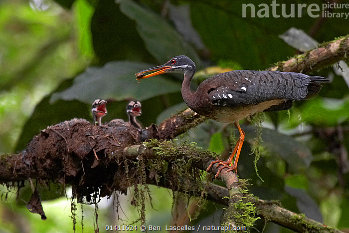 Sunbittern (Eurypyga helias) adult feeding chicks, Sobernia National Park, Panama, August  ,  BABIES,BEHAVIOUR,BIRDS,CENTRAL-AMERICA,CHICKS,FAMILIES,FEEDING,NESTS,NP,PARENTAL,RESERVE,SUNBITTERNS,TROPICAL,TROPICAL-RAINFOREST,VERTEBRATES,WOODLANDS,YOUNG high1314,EURYPYGA HELIAS,Animal,Vertebrate,Bird,Birds,Sunbittern,Animalia,Animal,Wildlife,Vertebrate,Aves,Bird,Birds,Gruiformes,Eurypygidae,Sunbittern,Eurypigidae,Eurypyga,Eurypyga helias,Noise,Loud,Noisey,Noisy,Sound,Patience,Hunger,Appetite,Hungry,Colour,Orange,Few,Three,Group,Nobody,Latin America,Central America,Panama,Profile,Close Up,Side View,Young Animal,Juvenile,Babies,Chick,Plant,Branch,Branches,Animal Limbs,Limb,Limbs,Animal Legs,Legs,Leg,Mouth,Beak,Beaks,Animal Home,Nest,Nests,Outdoors,Open Air,Outside,Day,Feeding,Reserve,Adult,Family,Mother baby,Mother-baby,mother,Protected area,National Park,Parent baby,Three Animals,Open Mouth  ,  Ben  Lascelles