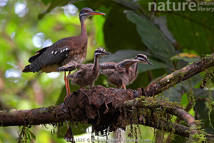 Sunbittern (Eurypyga helias) adult at nest with chicks stretching their wings, Sobernia National Park, Panama, August  ,  BABIES,BEHAVIOUR,BIRDS,CENTRAL AMERICA,CHICKS,FAMILIES,NESTS,NP,PARENTAL,RESERVE,SUNBITTERNS,TROPICAL,TROPICAL RAINFOREST,VERTEBRATES,WOODLANDS,YOUNG,National Park  ,  Ben Lascelles