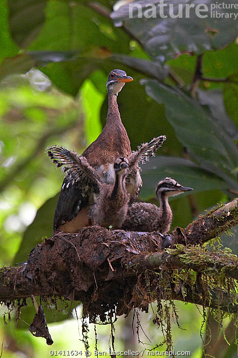 Sunbittern (Eurypyga helias) at nest, with chicks exercising wings, Soberania National Park, Panama, August  ,  BABIES,BEHAVIOUR,BIRDS,CENTRAL AMERICA,CHICKS,FAMILIES,NESTS,NP,Panama,PARENTAL,RESERVE,SUNBITTERNS,TROPICAL,TROPICAL RAINFOREST,VERTEBRATES,WINGS,WOODLANDS,YOUNG,National Park  ,  Ben Lascelles