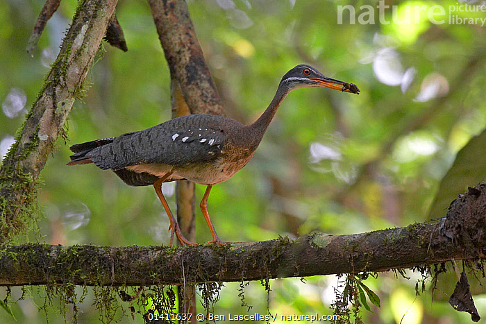 Sunbittern (Eurypyga helias) carrying food to its nest, Soberania National Park, Panama, August  ,  BIRDS,CENTRAL AMERICA,FEEDING,NESTS,NP,Panama,PARENTAL,RESERVE,SUNBITTERNS,TROPICAL,TROPICAL RAINFOREST,VERTEBRATES,WOODLANDS,National Park  ,  Ben Lascelles