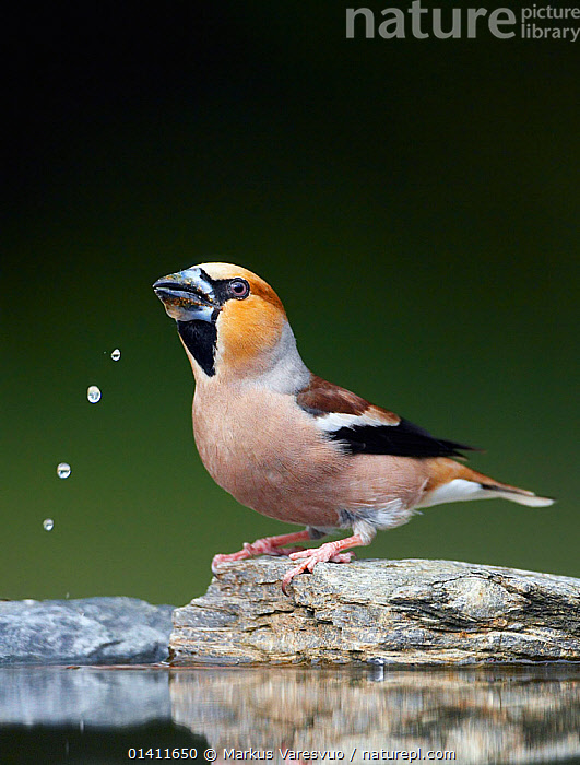 Hawfinch (Coccothraustes coccothraustes) drinking, Hungary, May. Fascinating birds bookplate.  ,  BEHAVIOUR,BIRDS,DRINKING,DROPS,EUROPE,FINCHES,FRINGILLIDAE,HUNGARY,SONGBIRDS,VERTEBRATES,VERTICAL,WATER  ,  Markus Varesvuo