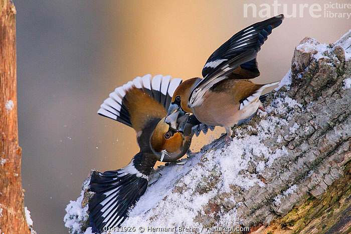 Hawfinches (Coccothraustes coccothraustes) fighting, Germany, February  ,  BEHAVIOUR,BIRDS,EUROPE,FIGHTING,FINCHES,FRINGILLIDAE,GERMANY,SNOW,SONGBIRDS,VERTEBRATES,WINTER,Aggression  ,  Hermann Brehm
