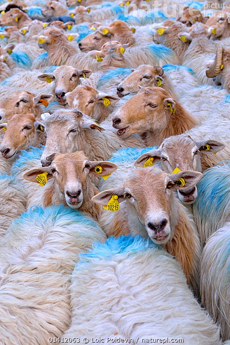 Sheep (Ovis aries) flock herded together with ear tags and paint markings. Ossoue valley, French Pyrenees, September., ARTIODACTYLA,Bovidae,catalogue5,CROWDED,ear tag,EUROPE,farming,flock of sheep,FLOCKS,FRANCE,full frame,full frame,GROUPS,HEADS,herd,Herds,identification,large group of animals,LIVESTOCK,looking at camera,MAMMALS,Nobody,Ossoue valley,outdoors,pyrenees,SHEEP,VERTEBRATES,VERTICAL,WILDLIFE,Goats,Antelopes, Loic Poidevin
