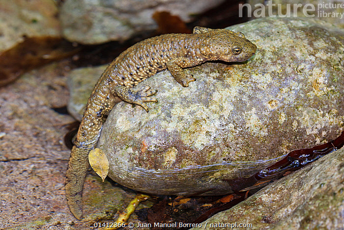 Pyrenean Brook Salamander (Calotriton asper) climbing onto a rock from a small stream, Pyrenees, Barcelona Province, Spain, July  ,  AMPHIBIANS,EUROPE,FRESHWATER,PORTRAITS,SALAMANDERS,SPAIN,STREAMS,VERTEBRATES,WATER  ,  Juan Manuel Borrero
