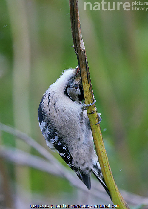Lesser Spotted Woodpecker (Dendrocopus minor) scratching head against reed, Uto Finland October, BEHAVIOUR,BIRDS,CLEANING,EUROPE,FINLAND,GROOMING,ITCHING,PICIDAE,PORTRAITS,PROFILE,REEDS,SCANDINAVIA,SCRATCHING,STEMS,VERTEBRATES,VERTICAL,WOODPECKERS, Markus Varesvuo