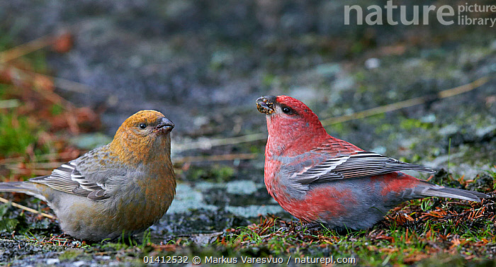 Pine Grosbeak (Pinicola enucleator) male and female on ground together, Uto Finland November, BIRDS,DIMORPHISM,EUROPE,FEMALES,FINCHES,FINLAND,FRINGILLIDAE,MALE FEMALE PAIR,MALES,PANORAMIC,PROFILE,SCANDINAVIA,SONGBIRDS,TWO,VERTEBRATES, Markus Varesvuo