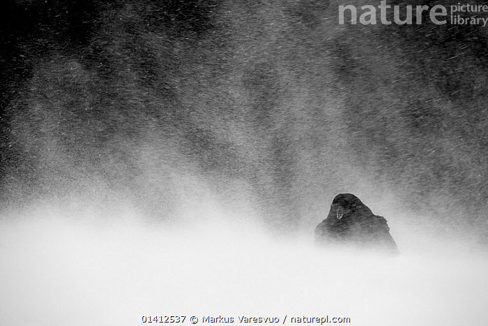 Common Raven (Corvus corax) huddled down amidst snow storm, Utajarvi Finland, February, adverse conditions,bad weather,BIRDS,Blizzard,catalogue5,COLD,corvidae,CORVIDS,CROWS,EUROPE,Finland,huddled,Nobody,one animal,outdoors,RAVENS,resilience,SCANDINAVIA,SNOW,snowstorm,songbirds,STORMS,Utajarvi,VERTEBRATES,WEATHER,WILDLIFE,WIND,WINTER, Markus Varesvuo