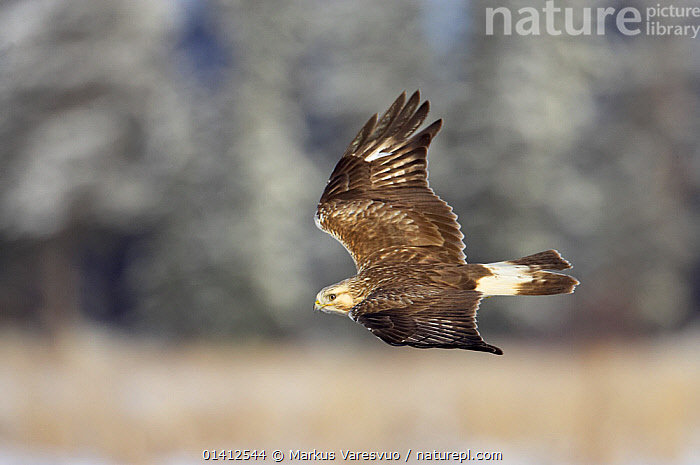 Rough-legged Buzzard (Buteo lagopus) in flight, Porvoo Finland February, ACTION,BIRDS,BIRDS OF PREY,EUROPE,FINLAND,FLYING,HAWKS,PROFILE,SCANDINAVIA,VERTEBRATES, Markus Varesvuo
