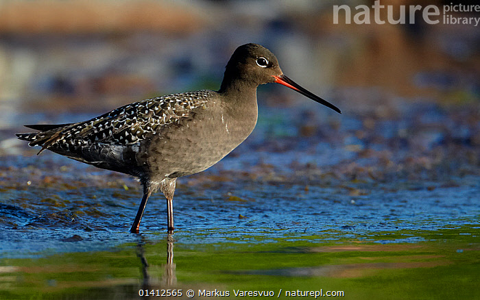 Spotted Redshank (Tringa erythropus) standing in shallow water, Uto Finland June, BIRDS,EUROPE,FINLAND,PORTRAITS,PROFILE,SANDPIPERS,SCANDINAVIA,VERTEBRATES,WADERS,WADING,WATER,WETLANDS, Markus Varesvuo