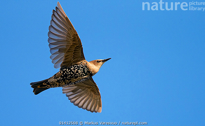 Common Starling (Sturnus vulgaris) in flight overhead, Helsinki Finland August, BIRDS,COPYSPACE,CUTOUT,EUROPE,FINLAND,FLIGHT,FLYING,OVERHEAD,PORTRAITS,SCANDINAVIA,SONGBIRDS,STARLINGS,STURNIDAE,UNDERSIDE,VERTEBRATES,WINGS, Markus Varesvuo