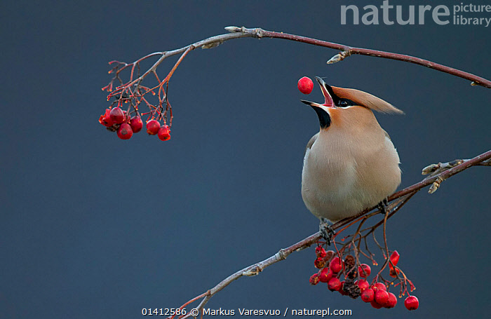Bohemian waxwing (Bombycilla garrulus) tossing berry into its beak while feeding, Uto Finland October, BEHAVIOUR,BERRIES,BIRDS,BOMBYCILLIDAE,COPYSPACE,EUROPE,FEEDING,FINLAND,PORTRAITS,PROFILE,SCANDINAVIA,SONGBIRDS,VERTEBRATES,WAXWINGS,WINTER, Markus Varesvuo