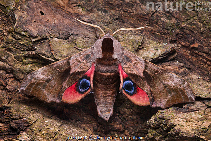 Eyed hawkmoth (Smerinthus ocellatus) showing eye spots on wings during deimatic display to deter predators, Surrey, UK. Sequence 2 of 2., BEHAVIOUR, CAMOUFLAGE, DEFENSIVE, deimatic, ENGLAND, EUROPE, EYES, eyespots, HAWKMOTHS, INSECTS, INVERTEBRATES, LEPIDOPTERA, MOTHS, SEQUENCE, SPOTS, UK,United Kingdom, Alex Hyde