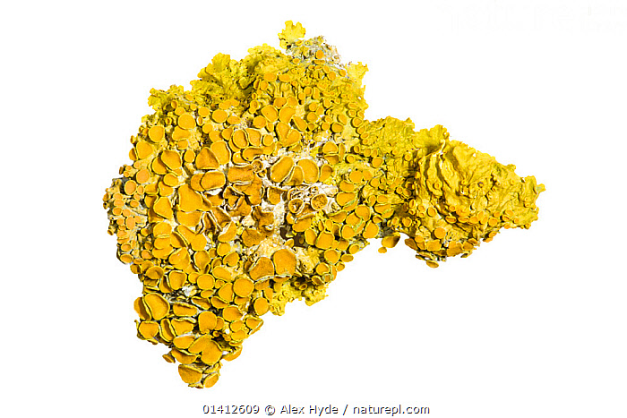 Lichen (Xanthoria parietina) photographed on a white background. This species is very resistant to air pollution. Peak District National Park, UK, January., CLOSE-UPS, copyspace, CUTOUT, Derbyshire, ENGLAND, EUROPE, field studio, FUNGI, LICHEN, LICHENS, national park, NP, PLANTS, PORTRAITS, RESERVE, UK, white background,United Kingdom, Alex Hyde