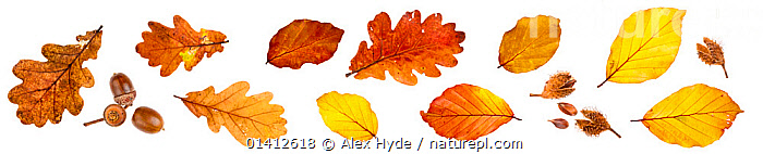 Autumn leaves and nuts from English Oak (Quercus robur) and Beech (Fagus sylvatica), photographed on a white background. Peak District National Park, Derbyshire, UK. October., ACORNS,AUTUMN,AUTUMNAL,BEECH,CLOSE UPS,COLOURFUL,COPYSPACE,CUTOUT,DERBYSHIRE,DETAIL,DICOTYLEDONS,ENGLAND,EUROPE,FAGACEAE,LEAVES,MIXED SPECIES,NATIONAL PARK,NP,NUTS,PANORAMIC,PLANTS,PORTRAITS,QUERCUS,RESERVE,SAMPLES,SEEDS,STUDIO,STUDIO SHOT,TREES,UK,WHITE BACKGROUND,United Kingdom, Alex Hyde