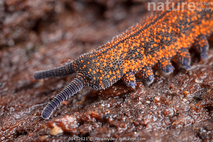 Velvet Worm (Peripatus novaezealandiae) known as 'living fossils', having remained the same for approximately 570 million years, New Zealand, Captive, ANCIENT,CLOSE UPS,INVERTEBRATES,LIVING FOSSIL,NEW ZEALAND,OLD,PORTRAITS,VELVET WORMS,WORMS, Alex Hyde