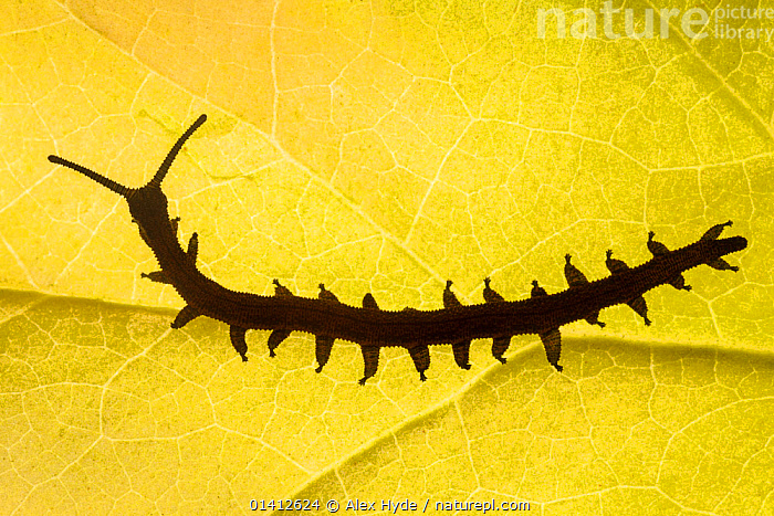 Velvet Worm (Peripatus novaezealandiae) silhouetted against a leaf, known as 'living fossils', having remained the same for approximately 570 million years, New Zealand, Captive, INVERTEBRATES,LEAVES,LIVING FOSSIL,NEW ZEALAND,OUTLINE,SILHOUETTES,VELVET WORMS,Catalogue5, Alex Hyde