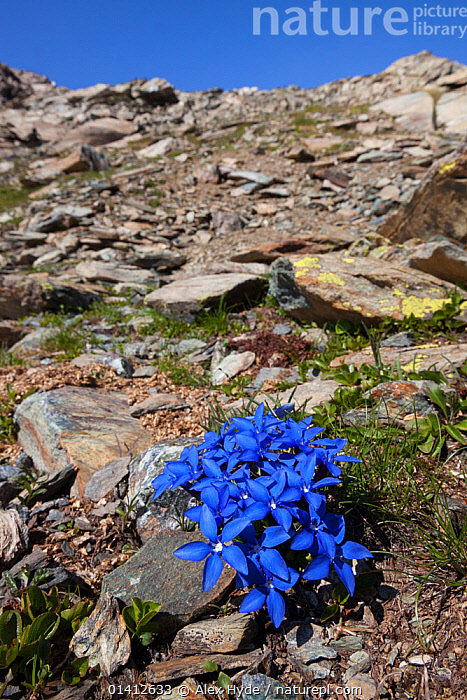 Spring Gentian (Gentiana verna subsp. verna) flowering on mountainside of Aosta Valley, Monte Rosa Massif, Pennine Alps, Italy. July.  ,  ALPINE,ALPS,BLUE,COLOURFUL,DICOTYLEDONS,EUROPE,FLOWERING,FLOWERS,GENTIANACEAE,HABITAT,HIGHLANDS,ITALY,PENNINES,PLANTS,ROCKS,SUMMER,VERTICAL  ,  Alex Hyde