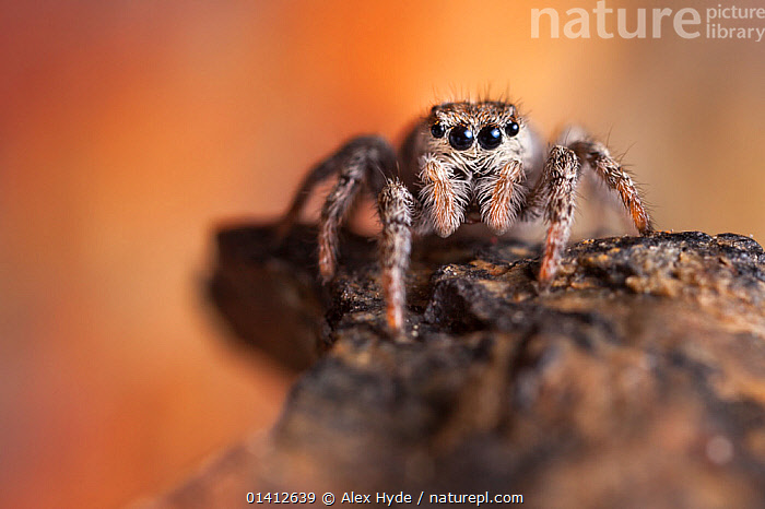 Jumping Spider (Sitticus sp.) found on a mountain ridge at 2800 metres altitude, Aosta Valley, Monte Rosa Massif, Pennine Alps, Italy, ALPINE,ALPS,ALTITUDE,AOSTA,ARACHNIDS,ARTHROPODS,CAMOUFLAGE,COPYSPACE,EUROPE,HIGHLANDS,INVERTEBRATES,ITALY,JUMPING SPIDERS,PENNINES,PORTRAITS,SALTICIDAE,SPIDERS,SUMMER, Alex Hyde