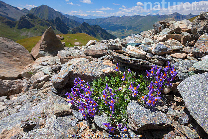Alpine Toadflax (Linaria alpina) growing in scree slope on mountainside in Aosta Valley, Monte Rosa Massif, Pennine Alps, Italy. July.  ,  ALPINE,ALPS,DICOTYLEDONS,EUROPE,FLOWERING,FLOWERS,HABITAT,HIGHLANDS,ITALIAN,ITALY,LANDSCAPES,PENNINES,PLANTS,ROCKS,SCREE,SCROPHULARIACAEA,SUMMER  ,  Alex Hyde