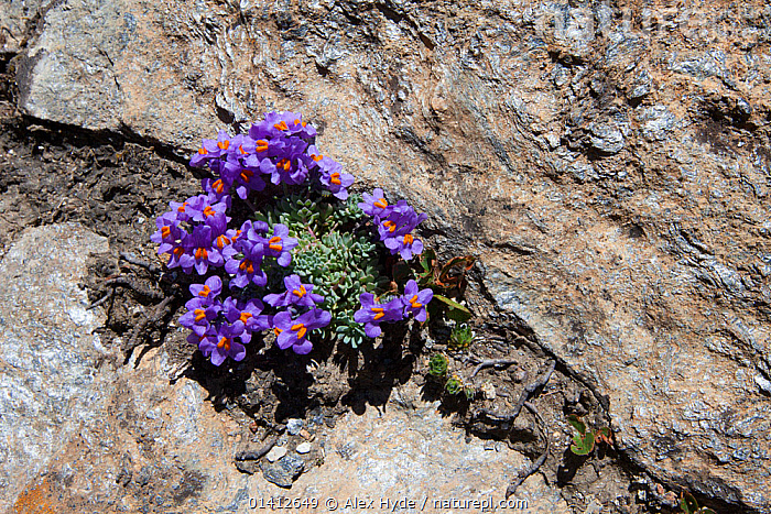Alpine Toadflax (Linaria alpina) growing in scree slope on mountainside in Aosta Valley, Monte Rosa Massif, Pennine Alps, Italy. July., ALPINA,ALPINE,ALPS,DICOTYLEDONS,EUROPE,FLOWERING,FLOWERS,PLANTS,SCROPHULARIACAEA, Alex Hyde