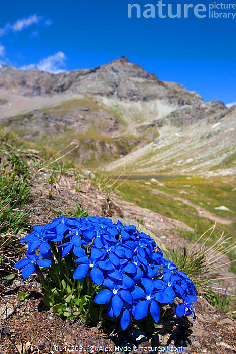 Spring Gentian (Gentiana verna) floweing on mountainside in Aosta Valley, Monte Rosa Massif, Pennine Alps, Italy. July.  ,  ALPINE,ALPS,BLUE,COLOURFUL,DICOTYLEDONS,EUROPE,FLOWERING,FLOWERS,GENTIANACEAE,HABITAT,HIGHLANDS,ITALY,LANDSCAPES,MOUNTAINS,PENNINES,PLANTS,SUMMER,VERTICAL  ,  Alex Hyde