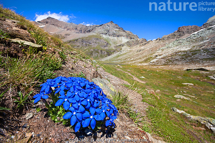 Spring Gentian (Gentiana verna) floweing on mountainside in Aosta Valley, Monte Rosa Massif, Pennine Alps, Italy. July., ALPINE,ALPS,BLUE,DICOTYLEDONS,EUROPE,FLOWERING,FLOWERS,GENTIANACEAE,HABITAT,HIGHLANDS,ITALY,LANDSCAPES,PENNINES,PLANTS,SUMMER,VALLEYS, Alex Hyde