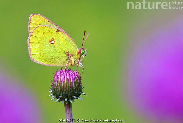Mountain Clouded Yellow (Colias phicomone) profile portrait, Aosta Valley, Monte Rosa Massif, Pennine Alps, Italy, ALPINE,ALPS,ARTHROPODS,BUTTERFLIES,COPYSPACE,EUROPE,FEEDING,FLOWERS,HIGHLANDS,INSECTS,INVERTEBRATES,ITALY,LEPIDOPTERA,PENNINES,PORTRAITS,PROFILE,SUMMER,Catalogue5, Alex Hyde