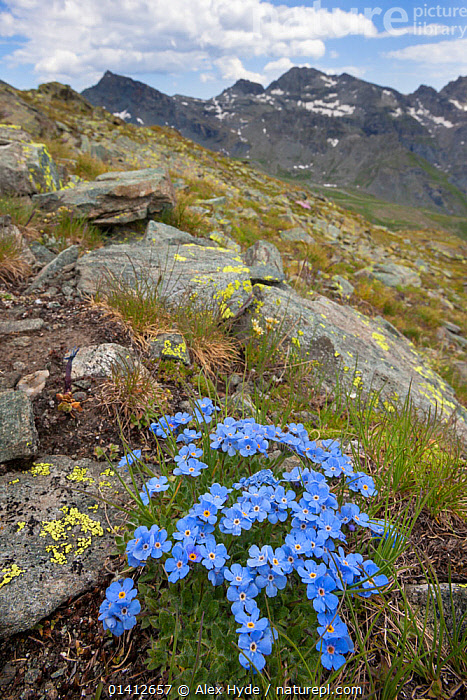 King of the Alps (Eritrichium nanum) growing on mountainside in Aosta Valley, Monte Rosa Massif, Pennine Alps, Italy. July., ALPINE,ALPS,ALTITUDE,BORAGINACEAE,DICOTYLEDONS,EUROPE,FLOWERS,HABITAT,ITALY,LANDSCAPES,PLANTS,ROCKS,SUMMER,VERTICAL, Alex Hyde