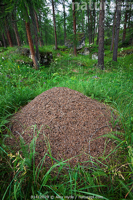 Wood Ant (Formica rufa) nest constructed from pine needles and other debris from the forest floor. Aosta Valley, Monte Rosa Massif, Pennine Alps, Italy. July., ALPINE,ALPS,ANTS,ARTHROPODS,CONIFEROUS,EUROPE,FORESTS,HABITAT,HYMENOPTERA,INSECTS,INVERTEBRATES,ITALY,MOUNDS,NESTS,SUMMER,WOODLANDS, Alex Hyde