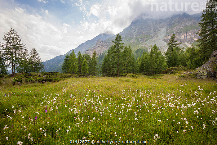 Common Cottongrass (Eriophorum angustifolium) growing in marshland in Aosta Valley, Monte Rosa Massif, Pennine Alps, Italy. July., ALPINE,ALPS,CYPERACEAE,EUROPE,FORESTS,HABITAT,HIGHLANDS,ITALY,LANDSCAPES,MARSHES,MONOCOTYLEDONS,MOUNTAINS,PLANTS,SEDGE,SUMMER,TREES,VALLEYS,WETLANDS,WOODLANDS, Alex Hyde