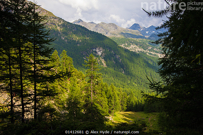Coniferous woodland in the Aosta Valley, Monte Rosa Massif, Pennine Alps, Italy. July., ALPINE,ALPS,EUROPE,FORESTS,FRAMED,HABITAT,HIGHLANDS,ITALY,LANDSCAPES,MOUNTAINS,SILHOUETTES,SUMMER,TREES,VALLEYS,WOODLANDS,PLANTS, Alex Hyde
