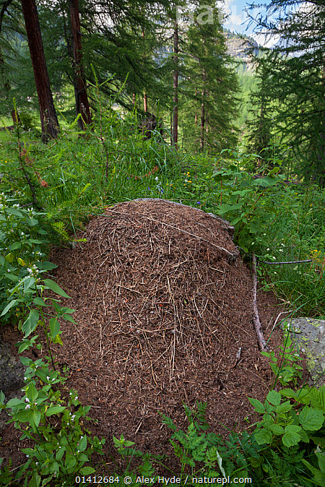 Wood Ant (Formica rufa) nest constructed from pine needles and other debris from the forest floor. Aosta Valley, Monte Rosa Massif, Pennine Alps, Italy. July., ALPINE,ALPS,ANTS,ARTHROPODS,CONIFEROUS,EUROPE,FORESTS,HYMENOPTERA,INSECTS,INVERTEBRATES,ITALY,MOUNDS,NESTS,SUMMER,VERTICAL,WOODLANDS, Alex Hyde