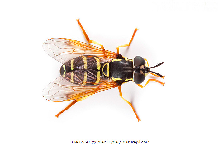 Prong horn Hoverfly (Chrysotoxum festivum), a wasp mimic, photographed on a white background, Aosta Valley, Monte Rosa Massif, Pennine Alps, Italy. July., ALPINE,ALPS,BATESIAN,CLOSE UPS,COPYSPACE,CUTOUT,DIPTERA,HOVER FLIES,INSECTS,INVERTEBRATES,ITALY,MIMICRY,OVERHEAD,PORTRAITS,SUMMER,SUNFLIES,WARNING,WHITE BACKGROUND,Europe, Alex Hyde