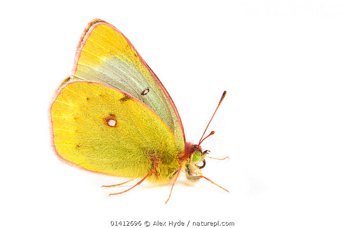 Mountain Clouded Yellow (Colias phicomone) photographed on a white background, Aosta Valley, Monte Rosa Massif, Pennine Alps, Italy. July., ALPINE,ALPS,ARTHROPODS,BUTTERFLIES,CLOSE UPS,COPYSPACE,CUTOUT,EUROPE,HIGHLANDS,INSECTS,INVERTEBRATES,ITALY,LEPIDOPTERA,PORTRAITS,PROFILE,SUMMER,WHITE BACKGROUND, Alex Hyde